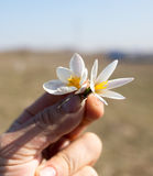 Snowdrop flower in hand on sky background Stock Photo