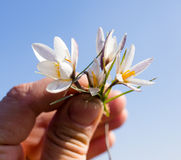 Snowdrop flower in hand on sky background Stock Photos