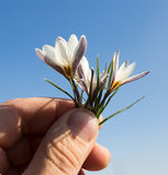 Snowdrop flower in hand on sky background Royalty Free Stock Photography