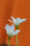 Snowdrop flower Stock Image