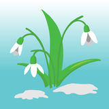 Snowdrop flower illustration Royalty Free Stock Image