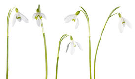 Snowdrop flower isolated. Spring snowdrop flowers set isolated on white Royalty Free Stock Photos