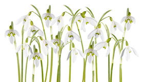 Snowdrop flower isolated Royalty Free Stock Images