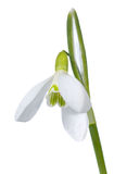 Snowdrop flower isolated on white Stock Images