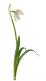 Snowdrop flower isolated Royalty Free Stock Image