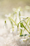 Snowdrop flower in melting snow. Delicate beautiful white flowers snowdrops in a forest glade in the spring. The snow melts in the sun. Beautiful spring Royalty Free Stock Photos