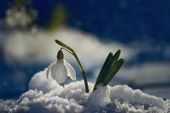 Snowdrop flower in melting snow. Gentle spring snowdrop flower in melting snow on a dark background. soft soft focus royalty free stock photography