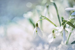 Snowdrop flower in melting snow. Gentle spring snowdrop flower in melting snow. The first spring snowdrops in a forest glade. Close-up.  soft focus Royalty Free Stock Photo