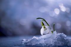 Snowdrop flower in melting snow. Gentle spring snowdrop flower in melting snow soft focus stock images