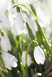 Snowdrop flower in morning dew, soft focus Royalty Free Stock Image
