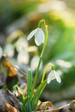 Snowdrop flower in morning dew, soft focus Stock Image