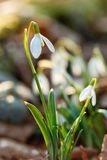 Snowdrop flower in morning dew, soft focus Royalty Free Stock Photos