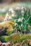 Snowdrop flower in morning dew, soft focus Stock Photography