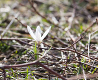Snowdrop flower in nature Stock Photos
