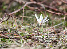 Snowdrop flower in nature Stock Photography