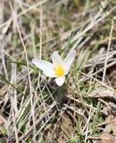 Snowdrop flower in nature Stock Photo