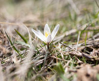 Snowdrop flower in nature Royalty Free Stock Photos