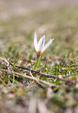 Snowdrop flower in nature Royalty Free Stock Photography