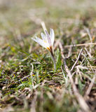 Snowdrop flower in nature Stock Images