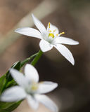 Snowdrop flower in nature. close Royalty Free Stock Images