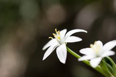 Snowdrop flower in nature. close Stock Photography