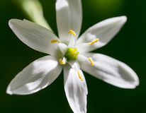 Snowdrop flower in nature. close Stock Images