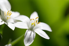 Snowdrop flower in nature. close Royalty Free Stock Image
