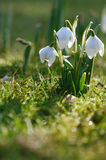 Snowdrop flower in nature with dew drops Stock Photos