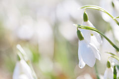 Snowdrop flower in nature with dew drops Stock Image