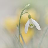 Snowdrop flower Royalty Free Stock Photography