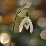 Snowdrop flower Royalty Free Stock Photos