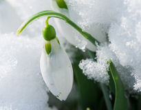 Snowdrop flower in a snow Royalty Free Stock Image