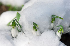 Snowdrop flower in a snow Stock Image