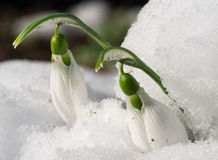 Snowdrop flower in a snow Royalty Free Stock Photo