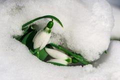 Snowdrop flower in a snow Stock Photos