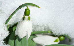 Snowdrop flower in a snow Stock Photo