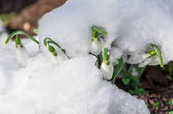 Snowdrop flower in a snow Royalty Free Stock Photography
