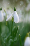 Snowdrop flower soft focus, perfect for postcard Royalty Free Stock Image