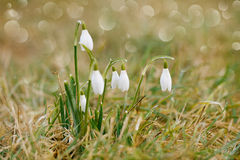 Snowdrop flower soft focus, perfect for postcard Stock Photography