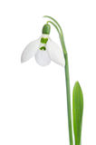 Snowdrop flower Royalty Free Stock Photo