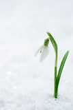 Snowdrop flower on white studio snow, soft focus, perfect for po Stock Image
