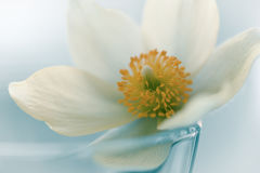 Snowdrop flower on white studio snow, soft focus, perfect for postcard Stock Image