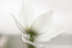 Snowdrop flower on white studio snow, soft focus, perfect for postcard Royalty Free Stock Photo