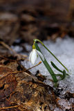 Snowdrop. Flower. Wood. Stock Photo
