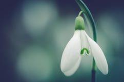 Snowdrop flowerhead. Beautiful white snowdrop flowerhead macro Stock Photography
