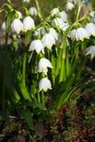 Snowdrop flowers. First spring snowdrop flowers in the garden Stock Photos