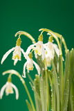 Snowdrop flowers Royalty Free Stock Images