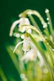 Snowdrop flowers Stock Images