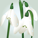 Snowdrop flowers Stock Photography