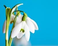Snowdrop flowers Royalty Free Stock Photos